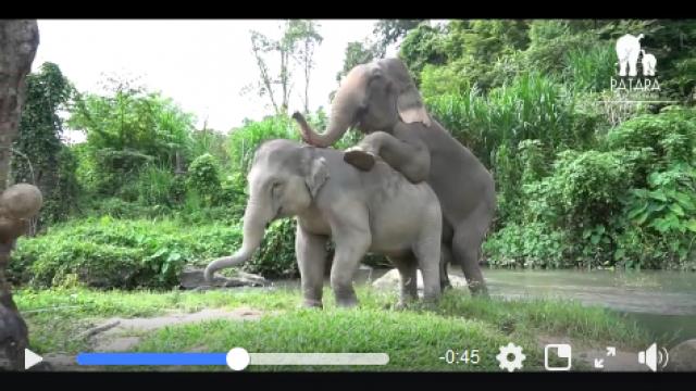 Elephant in mood at Patara Elephant Farm