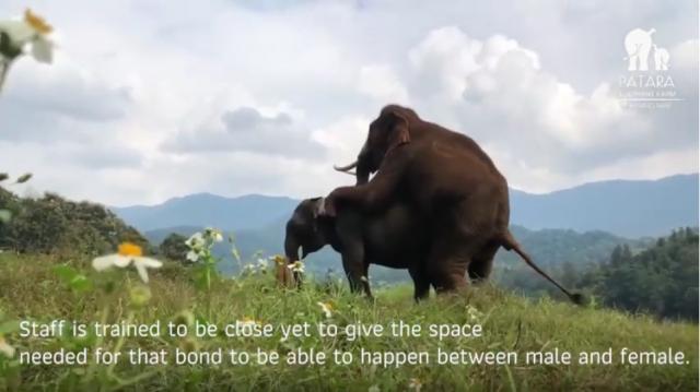 Natural Elephants Mating at Patara Elephant Farm