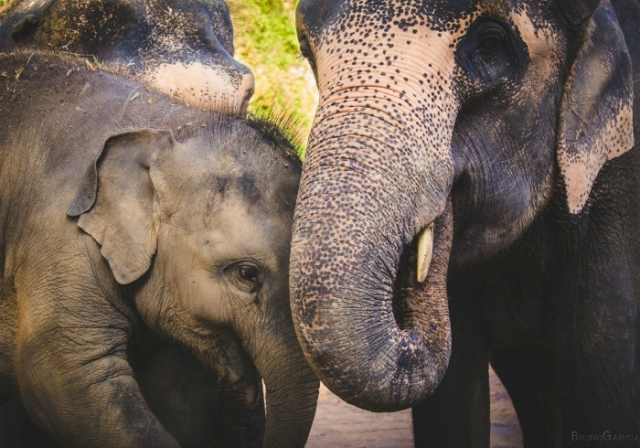 Adopt an Elephant for a Day in Chiang Mai, Thailand